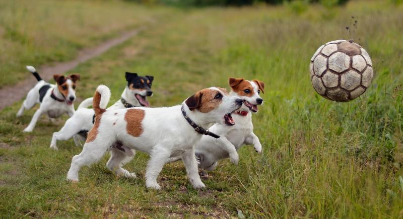 Hundebur på fotballtur